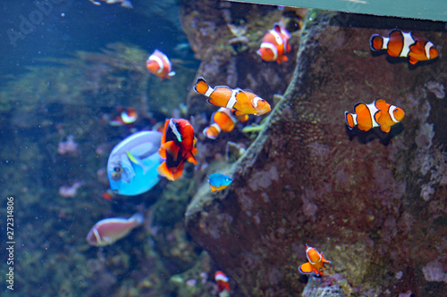 Clown Fish Canvas Print