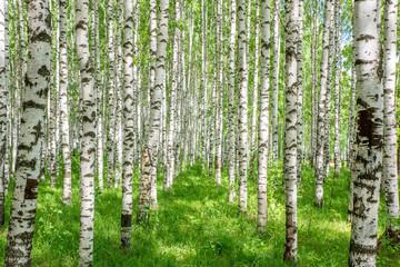 Fototapeta Do szkoły White birch trees in the forest in summer