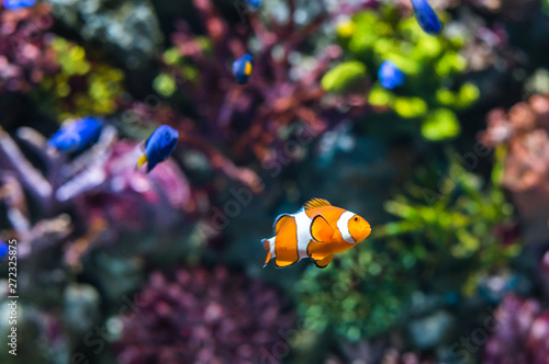 Single Clown Fish Swimming in Coral Reef. Underwater Scene. Tablou Canvas