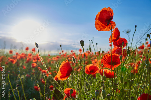 Foto auf Leinwand Mohn A field of flowering poppies on a bright sunny day. Picture on postcard