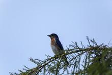 Female Eastern Bluebird Sialia Sialis Perches On The Trunk Of A Tree