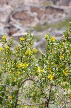 Blooming Creosote Bush In Arizona