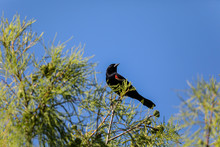 Male Red-wing Blackbird Agelaius Phoeniceus Perches On The Tall Reeds