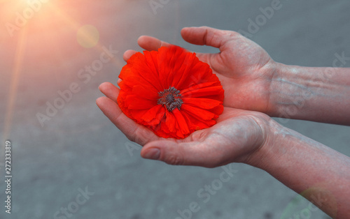 Canvas Prints Poppy wild poppy flower in hand close-up at sunset. symbol of remembrance.
