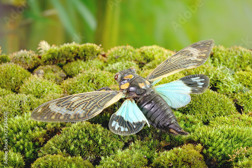 Cicada : Blue butterfly-wings cicada (Distantalna splendida) is a cicada species from southeast Asia (Thailand, Myanmar and India) Butterfly cicadas with broad multicolor wings Canvas Print