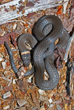 Northern Ringneck Snake (Diado...
