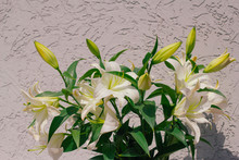 Bouquet Of Blooming White Lilies In Front Of A Grey Shabby Concrete Wall