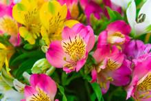 Close Up  Alstroemeria Flowers...