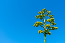 American Agave Tall, Branched Stalk, Laden With Yellow Blossoms Against A Blue Sky In The Southwest Desert