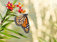 Newly Emerged Monarch Butterfly (Danaus Plexippus) Feeding On Tropical Milkweed Flowers
