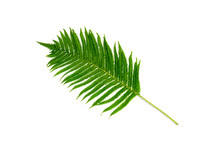 One Branch Of A Fern Or Palm T...