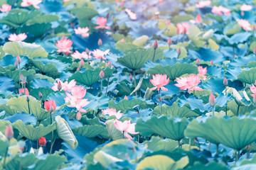 Fototapeta Do Spa beautiful pink lotus flower plants
