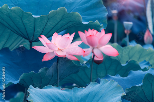 Foto auf Gartenposter Lotosblume beautiful pink lotus flower plants