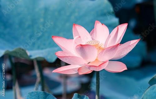 Montage in der Fensternische Lotosblume blooming lotus flower in pond