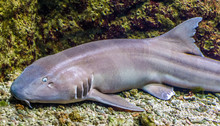 Brown Banded Bamboo Shark In C...
