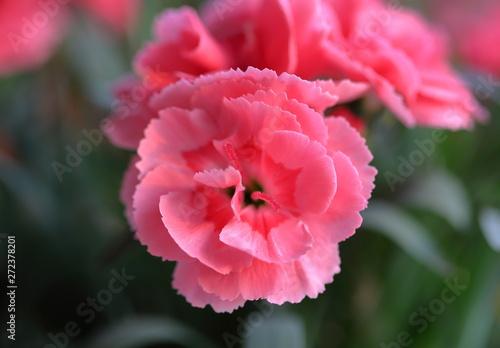 Różowy goździk pachnący z bliska
