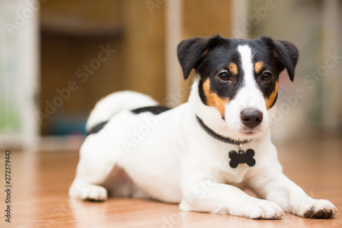 Fototapeta  Dog breed Jack Russell Terrier playfully lies on the floor
