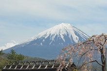 A Cherry Blossom Tree Covered In Pink Flowers Droops Over The Latice Work Of A Wooden Roof Waiting To Be Thatched. In The Background Rises The Snow-covered Cone Of Mount Fuji.