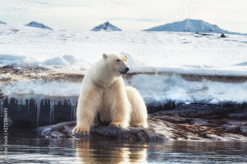 Adult male polar bear at the ice edge in Svalbard