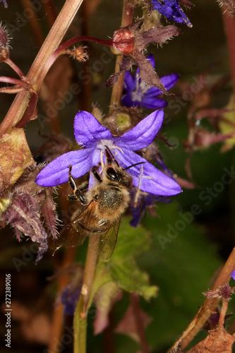 Bellflower, Campanula poscharskyana, flowering plant Billede på lærred