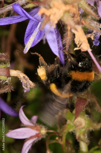 Fotografering Bellflower, Campanula poscharskyana, flowering plant