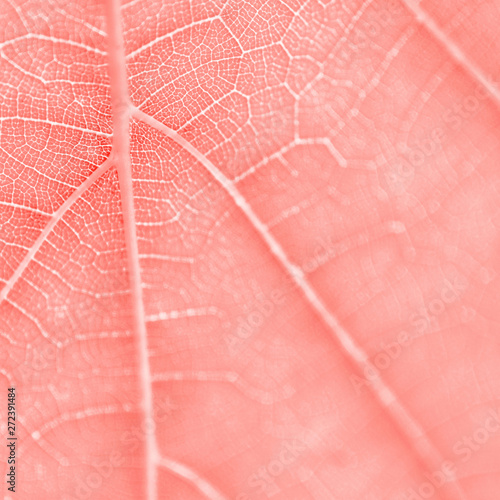 Fotografia  Grape leaf, living coral toned, macro