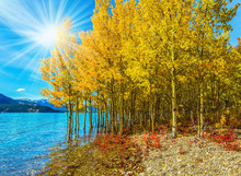 The Golden Foliage Of Birches