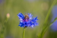 A Bee On A Blue Flower . Collects Pollen And Drink Nectar, Blue Flower With Insect