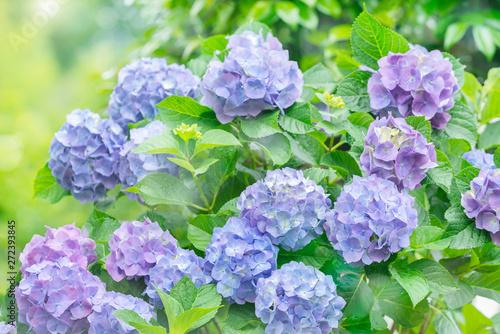 Canvas Prints Hydrangea 紫陽花 あじさい