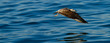 canvas print picture - BLACK BACKED KELP GULL - GAVIOTA DEL CABO, False Bay, South Africa, Africa