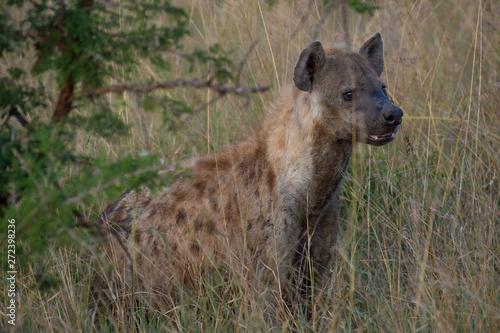Photo sur Toile Hyène Safari hyène Parc Kruger Afrique du Sud