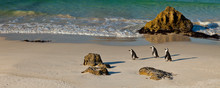 AFRICAN PENGUIN, False Bay, So...