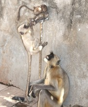 Thirsty Summers' Gray Langurs Are Fairly Terrestrial, Inhabiting Forest, Open Lightly Wooded Habitats, And Urban Areas On The Indian Subcontinent