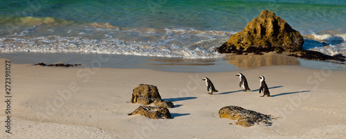 Photo sur Toile Pingouin AFRICAN PENGUIN, False Bay, South Africa, Africa