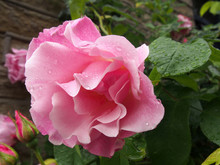 Large Pink Roses In Bloom And Budding Covered In Raindrops Climbing Up A Stone Wall In A Garden