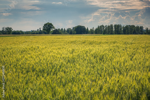 plakat Wheat field at sunny day