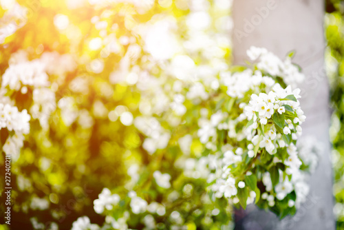 Wall Murals Lily of the valley Apple tree blosom. White flowers on ackground of green leaves. Summer background horizontal bokeh glare.