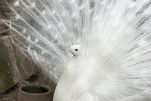 Beautiful White Peacock With O...