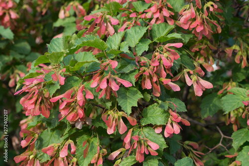 Acer tataricum, Tatar maple, Tatarian maple foliage and fruit Canvas Print