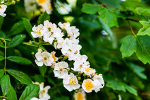 A Cluster Of White Wild Rose B...