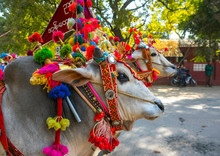 Decorated Ox Cart During A Nov...