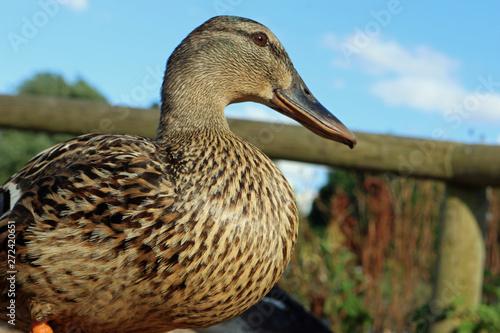 Photo Mallard duck close up