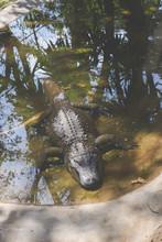 Dangerous Crocodile In Africa