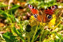 Peacock Butterfly On A Dandelion Flower