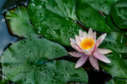 Poster de jardin Nénuphars Blooming water lily with yellow center and pink petals or lotus Marliacea Rosea on water surface of magic pond. Selective focus. Water lily is reflected in mirror-clear water. There is place for text