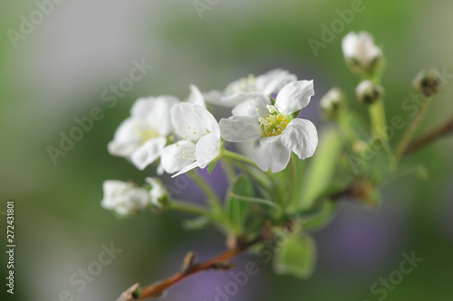 Photo  Beautiful white flowers of blooming apple tree