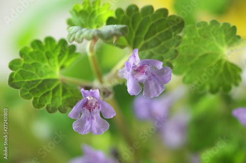 Glechoma hederacea, commonly known as ground-ivy, gill-over-the-ground, creeping Canvas Print