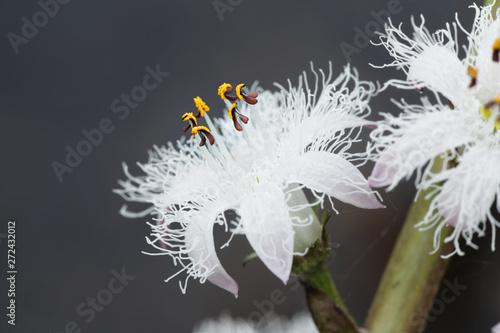 Photo  Menyanthes trifoliata, known as bogbean, Buckbean, Bog Bean, Buck Bean or Marsh