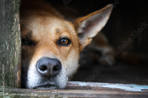 Photo  Sad view of a lonely red dog resting in the kennel - an old wooden house