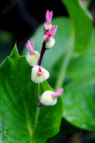 Photo Close up of the fruits of Indian shot or edible canna or purple or African or Si
